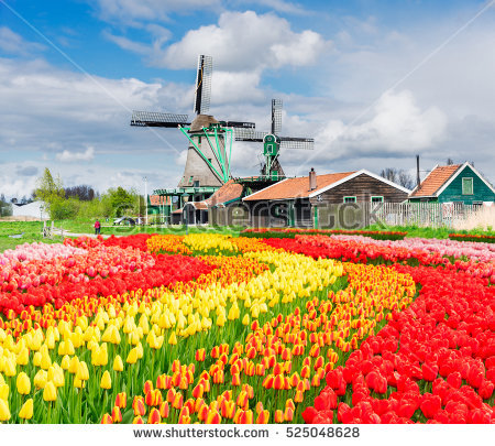 stock-photo-traditional-dutch-rural-scenery-with-windmill-and-blooming-tulips-netherlands-525048628